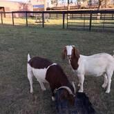 Nanny Boer goats for sale