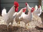 Leghorn chickens for sale whatsapp +27631521991