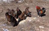 Barnevelder chicken for sale whatsapp +27631521991