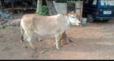 Vechoor cow contact at 9645776642