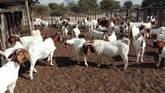 Boer and Kalahari goats North West