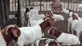 Boer and Kalahari goats Free State