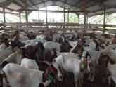 Boer and Kalahari goats Gauteng