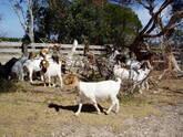 Boer and Kalahari goats Eastern Cape