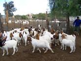Boer and Kalahari goats Limpopo