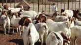 Boer and Kalahari goats Western Cape