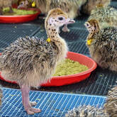 Ostrich chicks and fertile eggs price