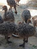 Ostrich chicks and fertile eggs South Africa