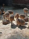 Ostrich chicks and fertile eggs for sale in South Africa