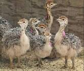 Ostrich chicks and fertile eggs North West