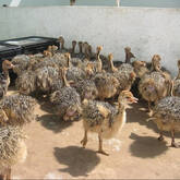Ostrich chicks and fertile eggs Free State