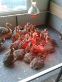 Ostrich chicks and fertile eggs Northern Cape