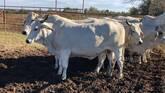 Bonsmara,Brahman and Nguni Cattle South Africa