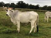 Bonsmara,Brahman and Nguni Cattle price