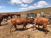 Bonsmara,Brahman and Nguni Cattle Free State