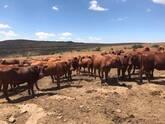 Bonsmara,Brahman and Nguni Cattle Kwazulu Natal