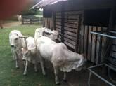 Bonsmara,Brahman and Nguni Cattle Gauteng