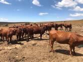 Bonsmara,Brahman and Nguni Cattle North West