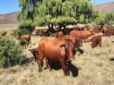 Bonsmara,Brahman and Nguni Cattle Limpopo