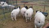 Dorper and Merino Lambs South Africa