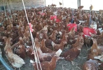 Chicken and fresh chicken eggs North West