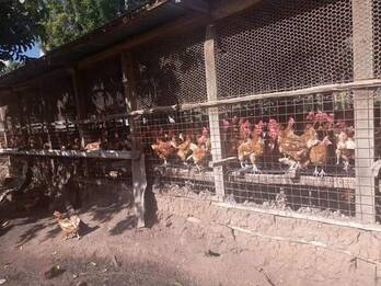 Chicken and fresh chicken eggs Eastern Cape