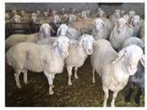 Registered Fullblood Healthy Male and Female Assaf sheep for sale