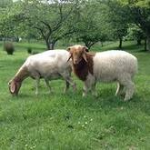 Registered Fullblood Healthy Male and Female Awassi sheep for sale