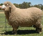 Registered Fullblood Healthy Male and Female Merino sheep for sale
