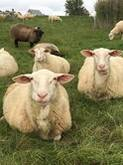 Registered Fullblood Healthy Male and Female Lacaune sheep for sale