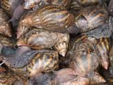 Frozen African Giant Land Snails Meat