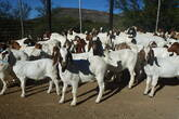 Boer Goats and Sheep