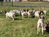 Full Blood Headed Pure Breed Dorpers And Boer Goats.