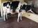 Holstein Fresian (HF) Cows