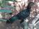 Aseel Rooster Chicken - Olaidairydealer