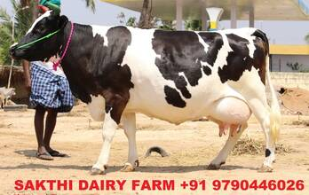 hf cow , jersey cow for sale in tamilnadu , kerala , andra pradesh