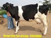 HF,JERSEY COWS FOR SALE IN TAMILNADU