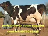 HF cow ,Jersey cows for sale in Tamilnadu , Kerala , Andra 9976015858