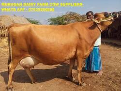 HF,Jersey Cows for sale in Tamilnadu,Kerala on Engormix  (Ref 32126)
