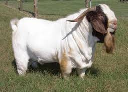 100 Full Blood Boer Goats Live Sheep Cattle Lambs And Cows Alive Boer Goats For Sale