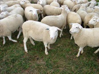 Assaf Sheep For Sale On Engormix Ref 34191