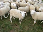 Assaf Sheep For Sale
