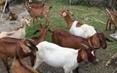 Anglo-Nubian Goats for sale