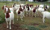 Boer Goat For Sale