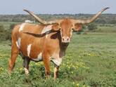 Longhorn Cattle for Sale