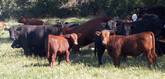 RED ANGUS COW FOR SALE