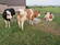 Quality Holstein cows