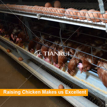 Battery chicken cage system, all autos