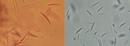 Identification and Control of Fusarium Head Blight (Scab) of Wheat in Georgia