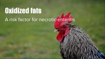 Poor quality fats put birds risk necrotic enteritis